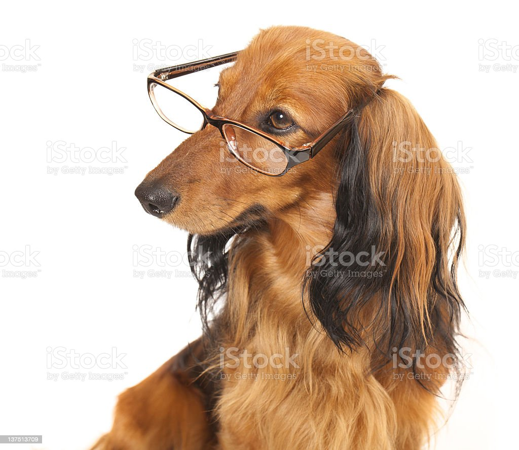 longhaired dachshund stock photo