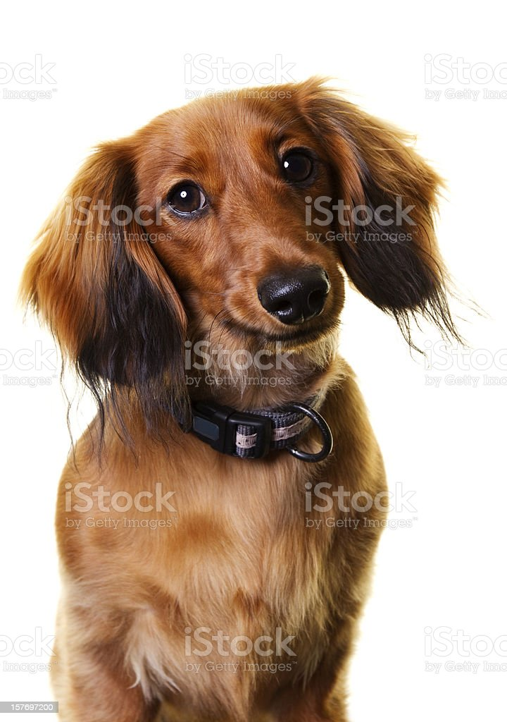 Longhaired Dachshund stock photo