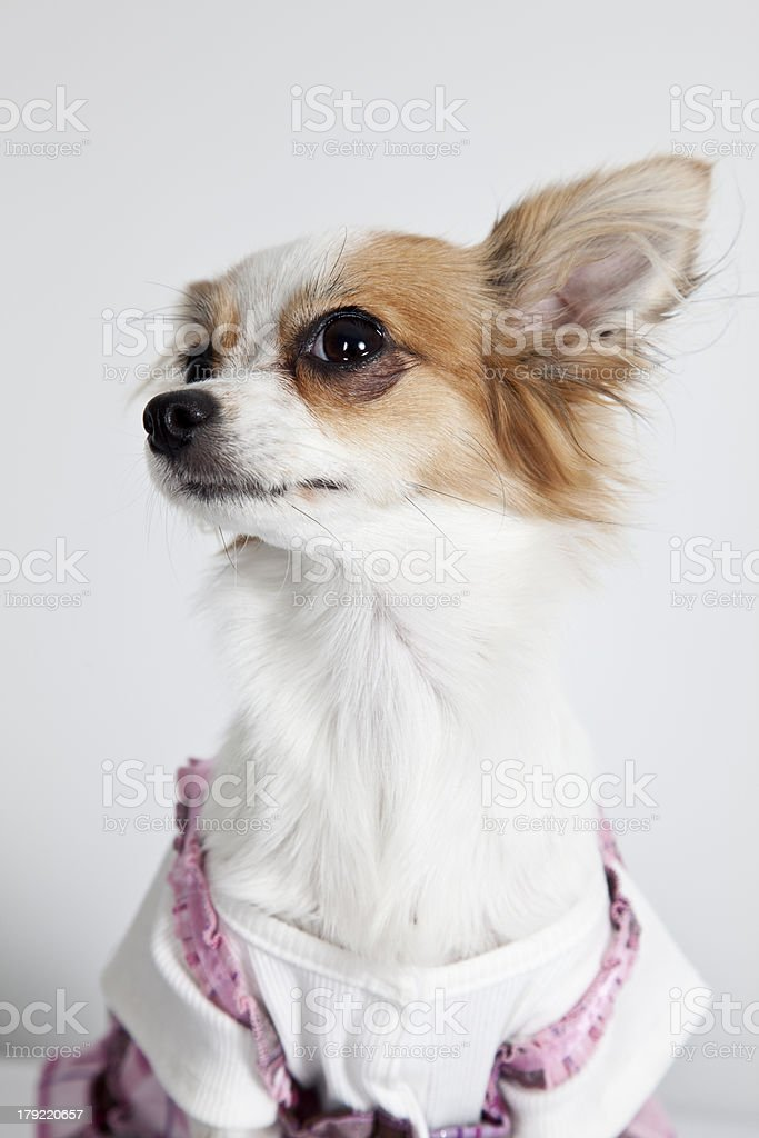 Longhaired miniature chihuahua wearing clothing closeup isolated on white stock photo