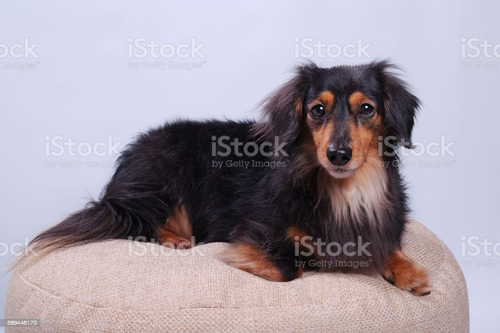 Long-Haired Miniature Dachshund stock photo