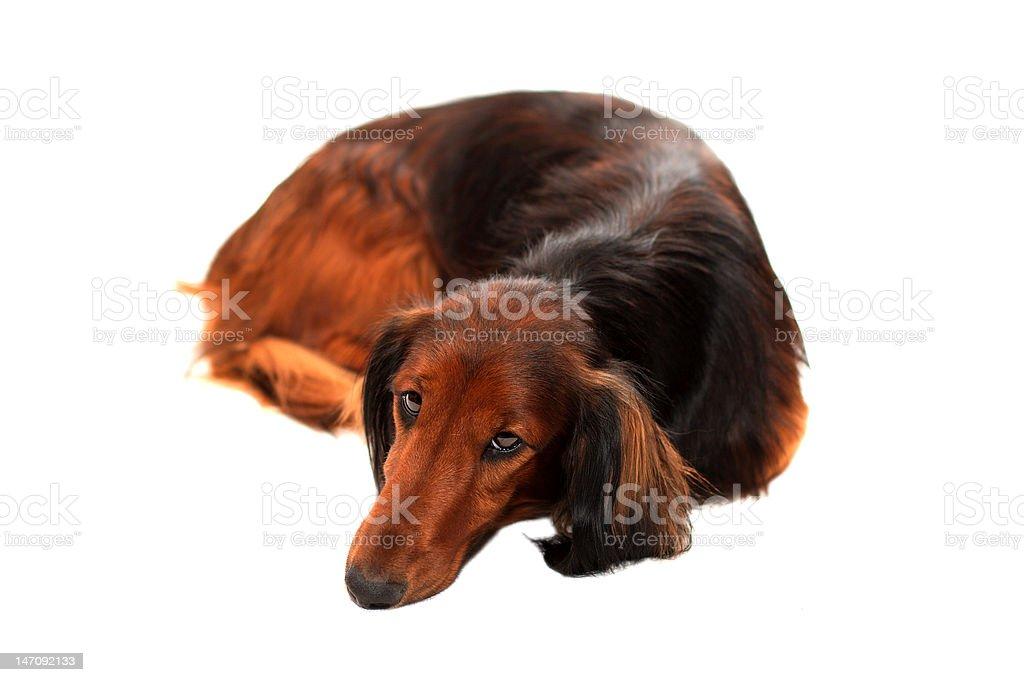 dachshund Longhir foto royalty-free