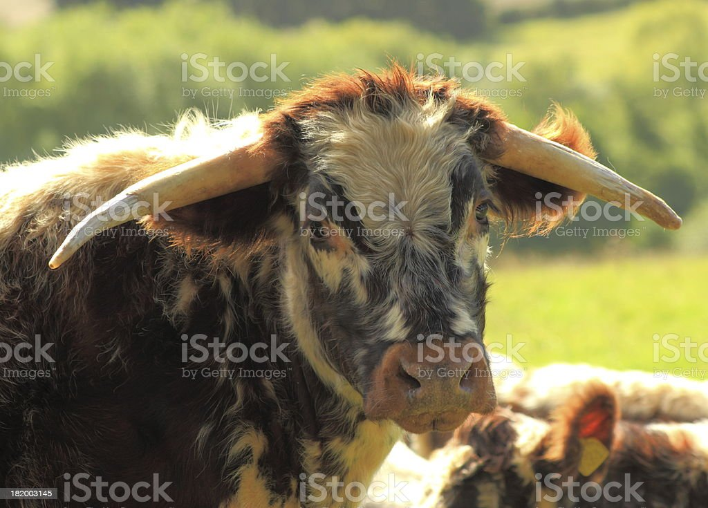 longhorn beef cattle royalty-free stock photo