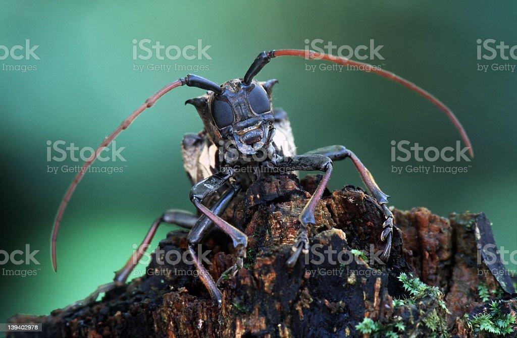 Longhorn beetle royalty-free stock photo