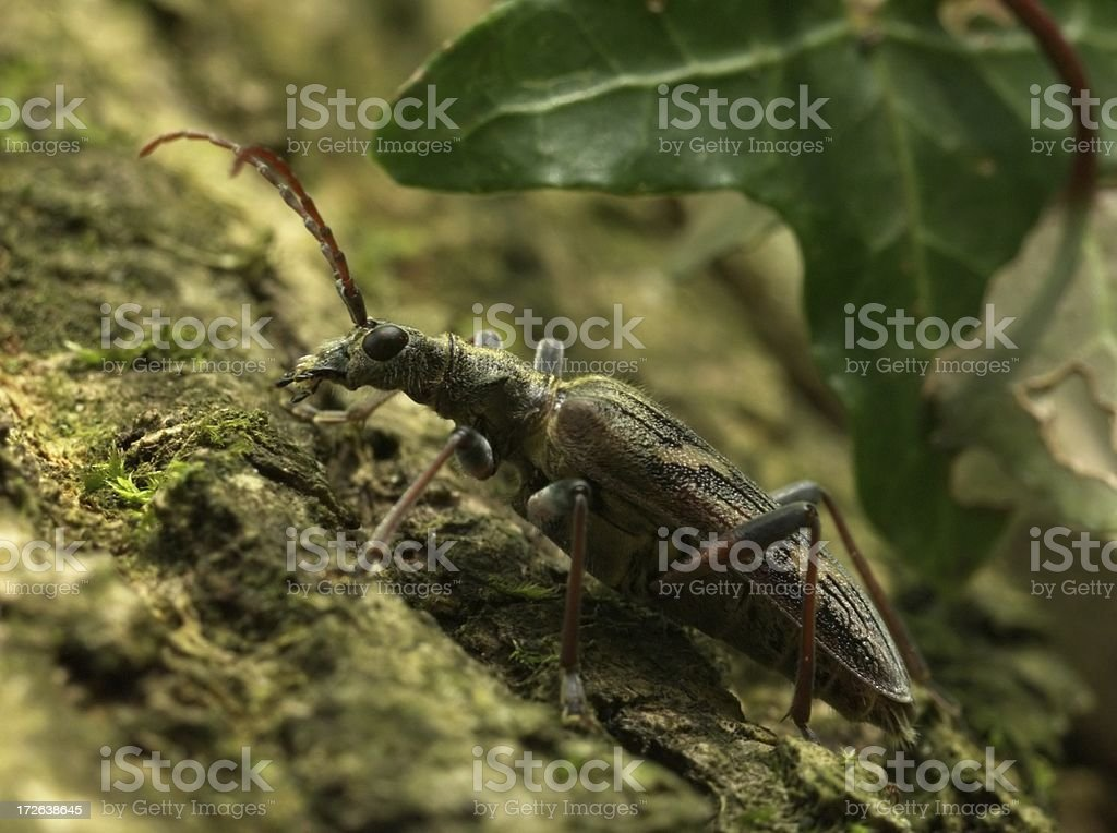 Longhorn Beetle (Rhagium bifasciatum) royalty-free stock photo