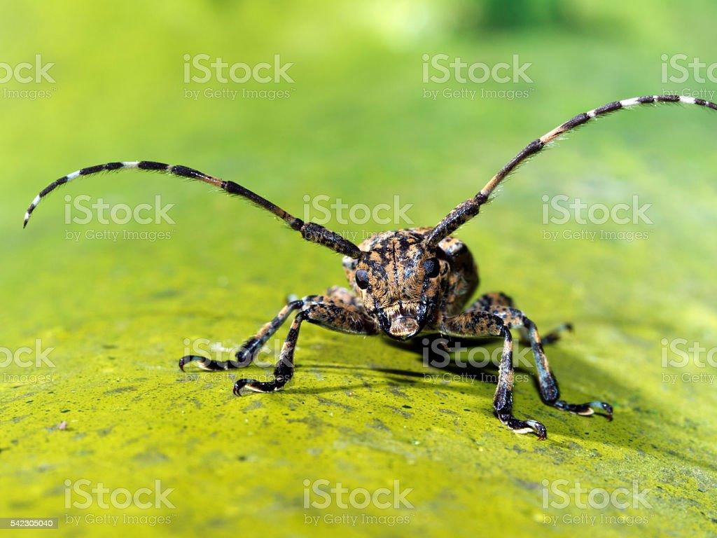 Longhorn beetle,Cerambycidae stock photo