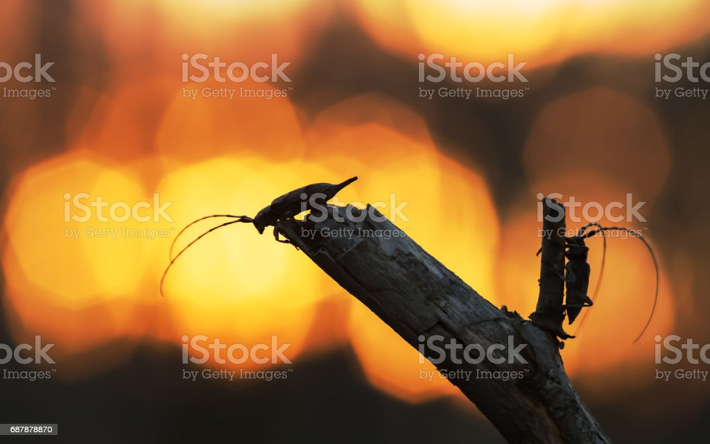 Long-horn beetles, male and female, Acanthocinus aedilis in sunset stock photo
