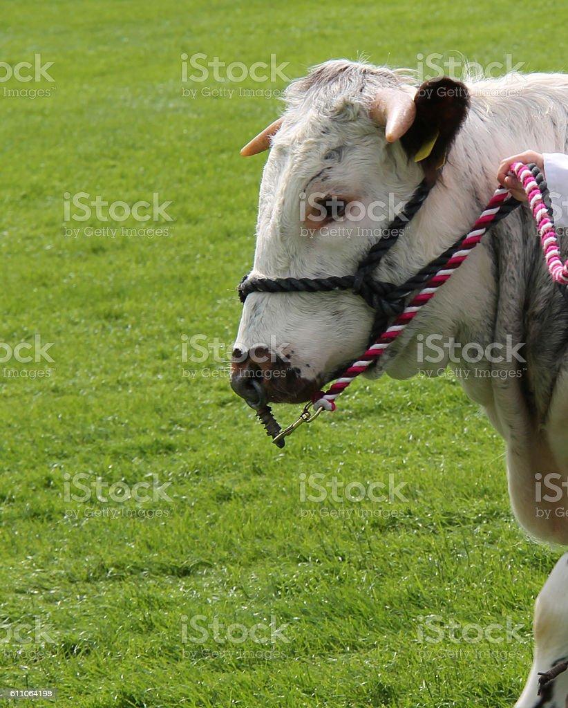 Longhorn Bull Animal. stock photo