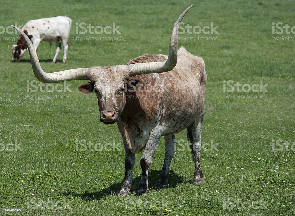 longhorn bull in a field royalty-free stock photo