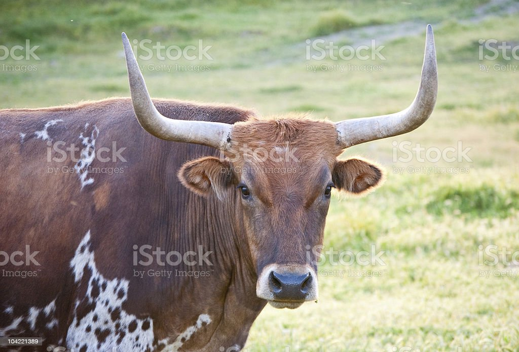 longhorn bull royalty-free stock photo