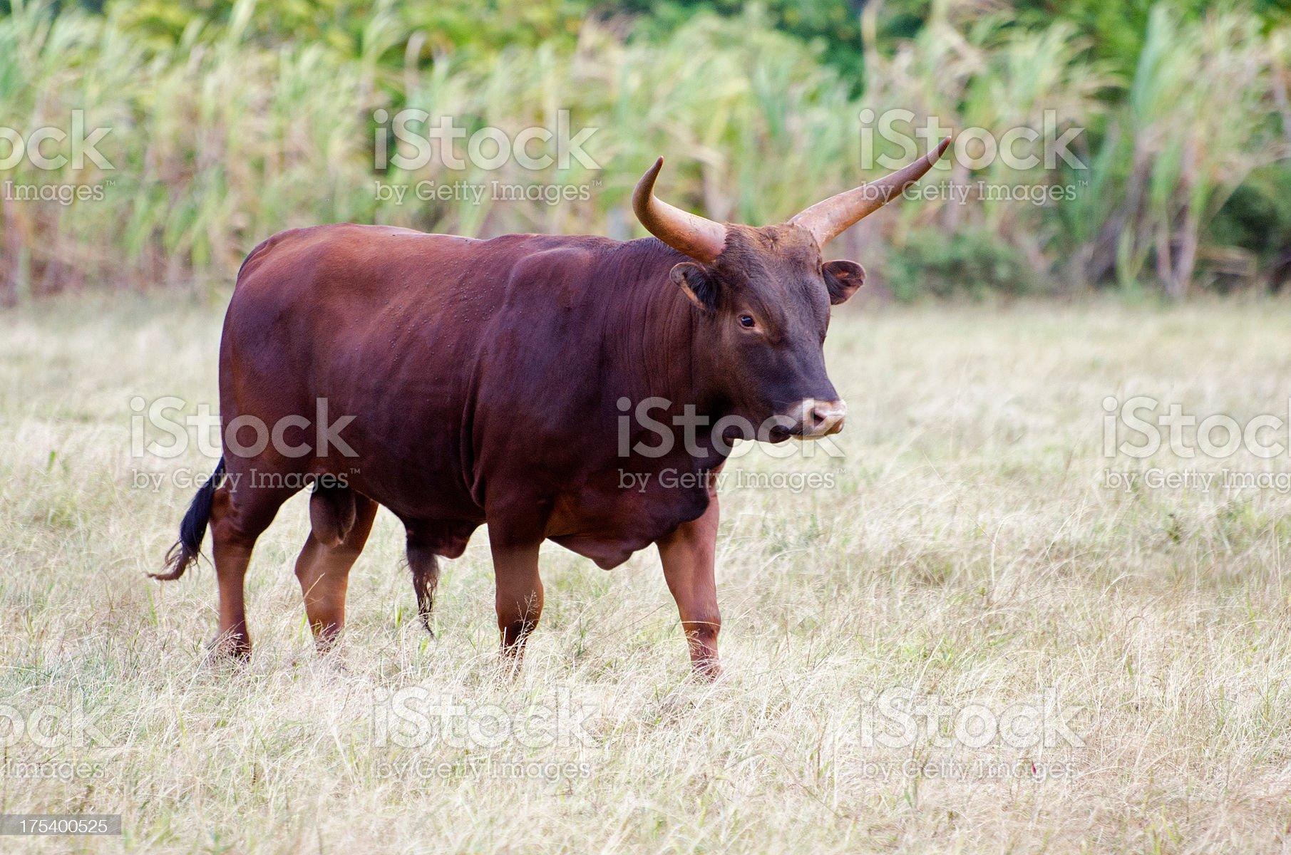longhorn bull royalty-free stock photo