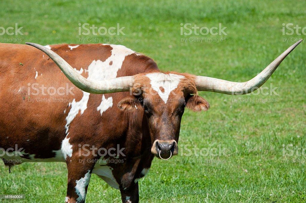 Longhorn bull stock photo