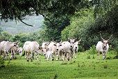 Longhorn cattle drove