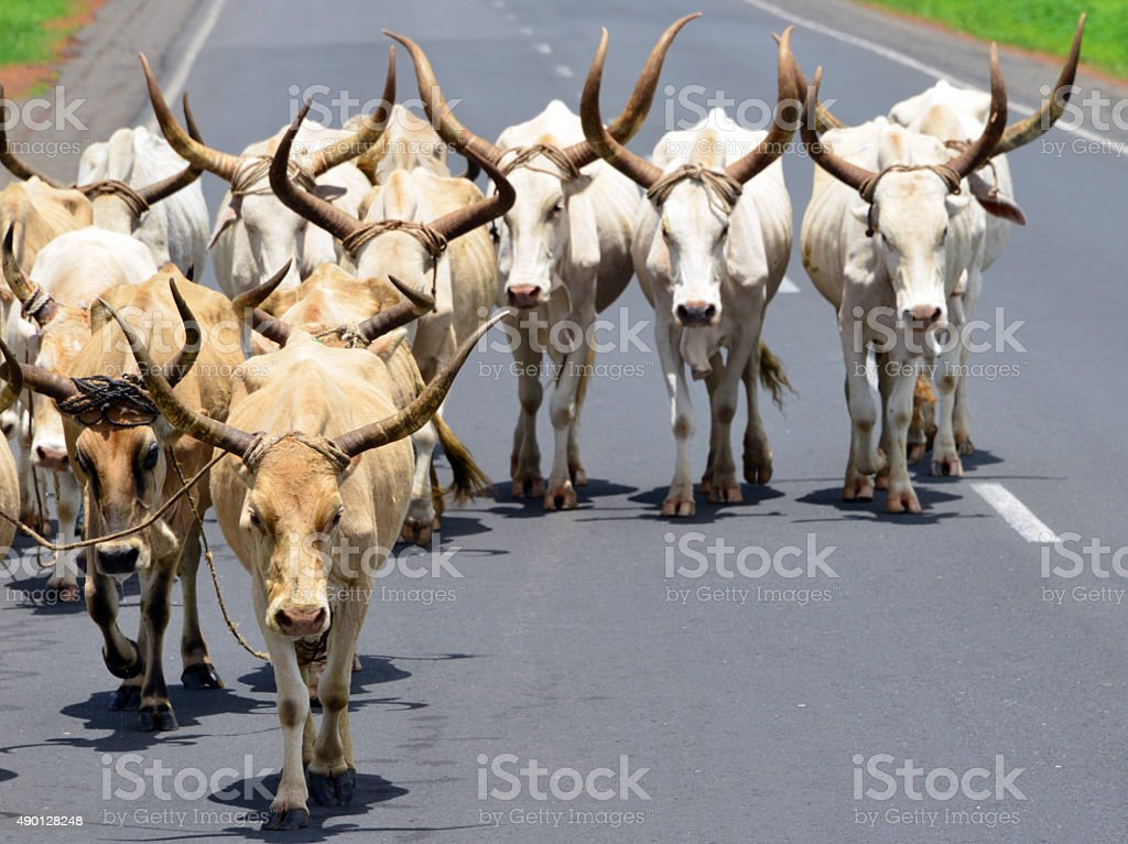 Longhorn cattle, Gambia stock photo