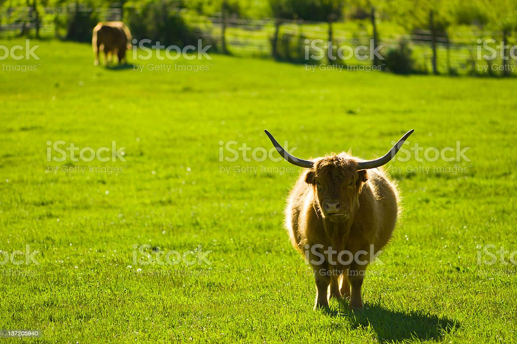 Longhorn Cattle in Ranch Meadow royalty-free stock photo