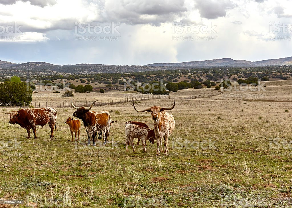 Longhorn Cattle on the Open Range stock photo