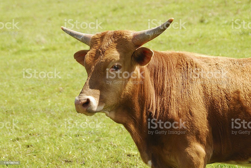 Longhorn Cattle royalty-free stock photo
