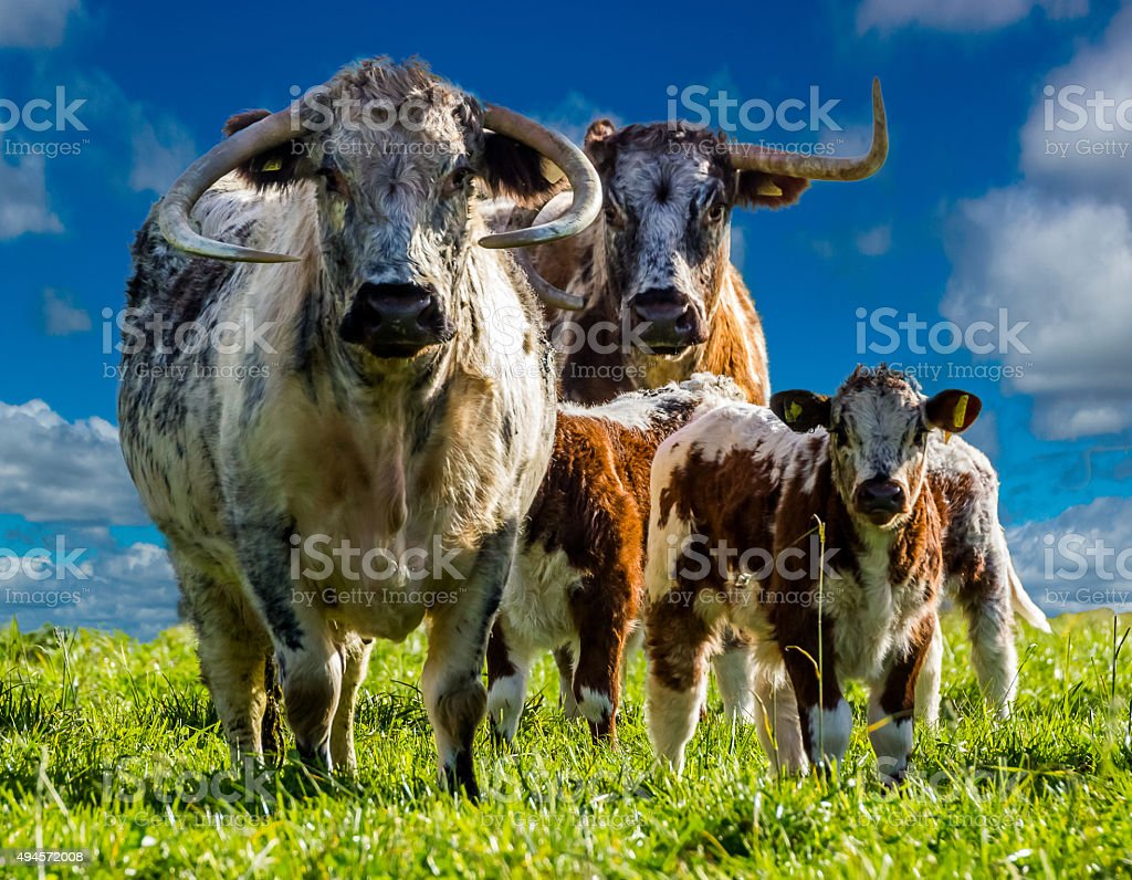 longhorn cattle. stock photo