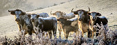 longhorn cattle.