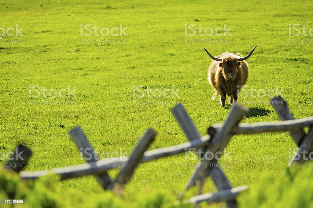 Longhorn Cattle with Ranch Fence royalty-free stock photo