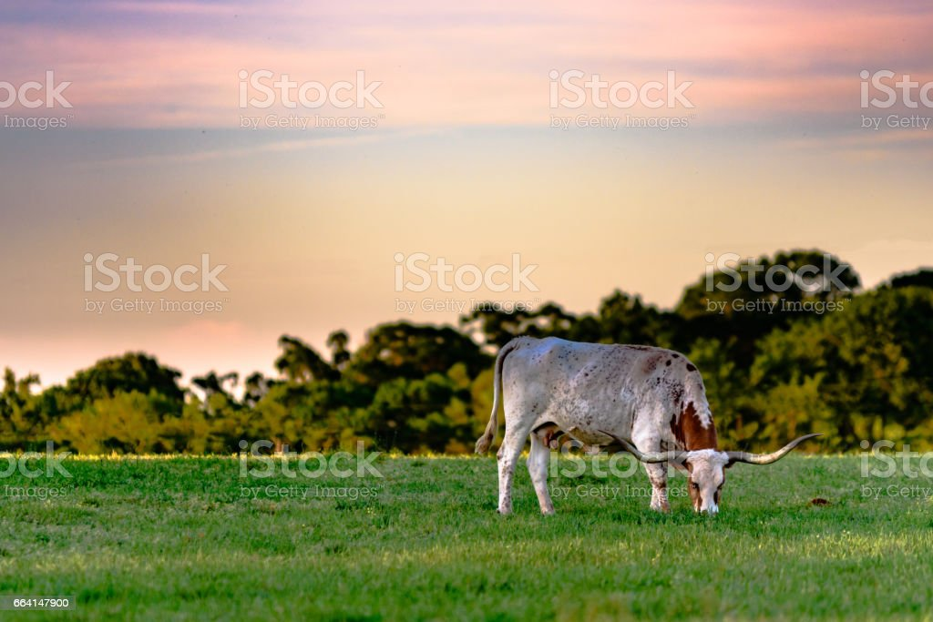 longhorn cow at sunset stock photo