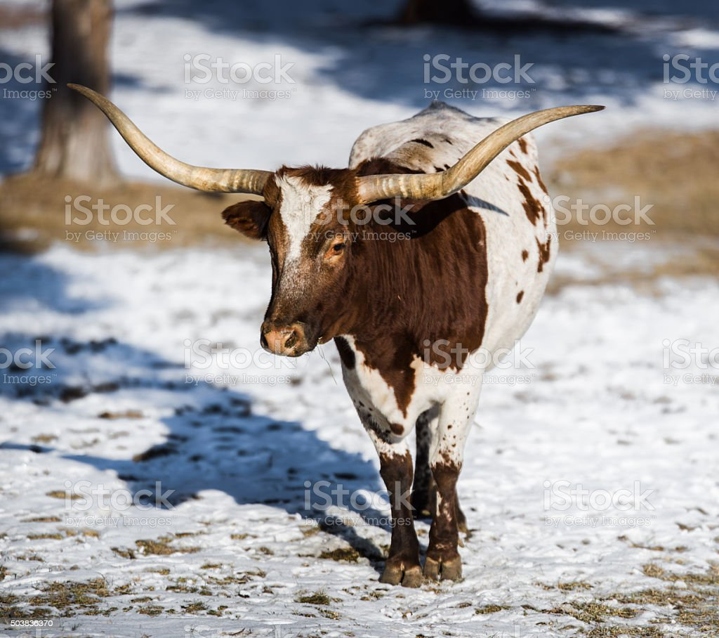 Longhorn Cow in Winter stock photo