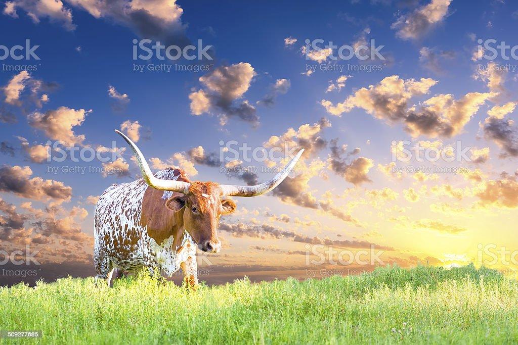 Longhorn Cow stock photo