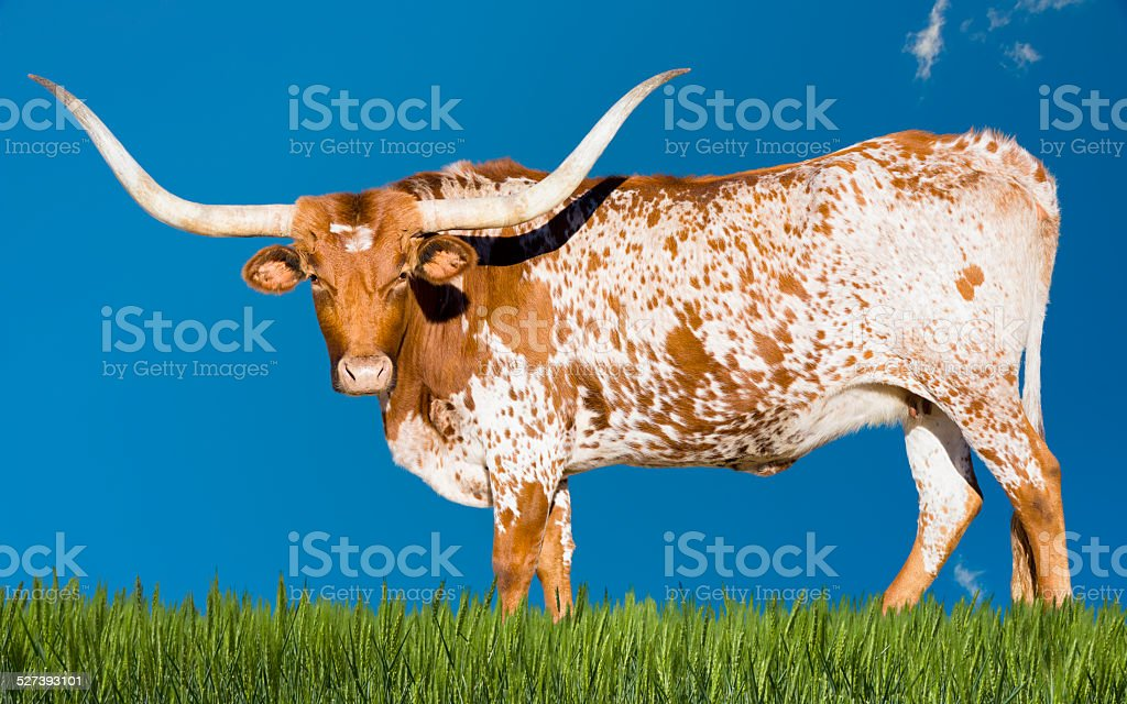 Longhorn Cow stock photo