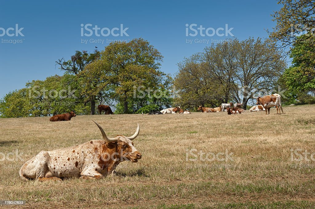Longhorn Cow with Herd Two royalty-free stock photo