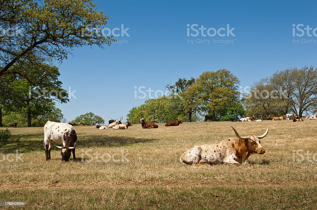 Longhorn Cown and Calf with Herd royalty-free stock photo