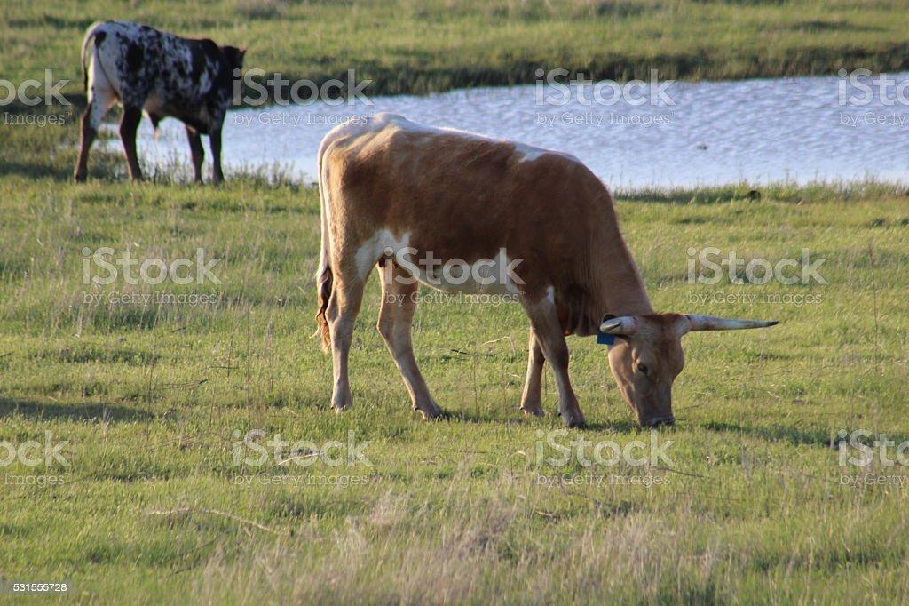 Longhorn Cows stock photo