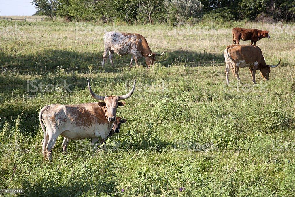 Longhorn Herd in a Field royalty-free stock photo
