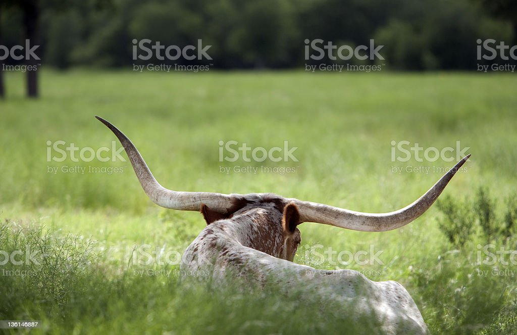 Longhorn in Texas royalty-free stock photo