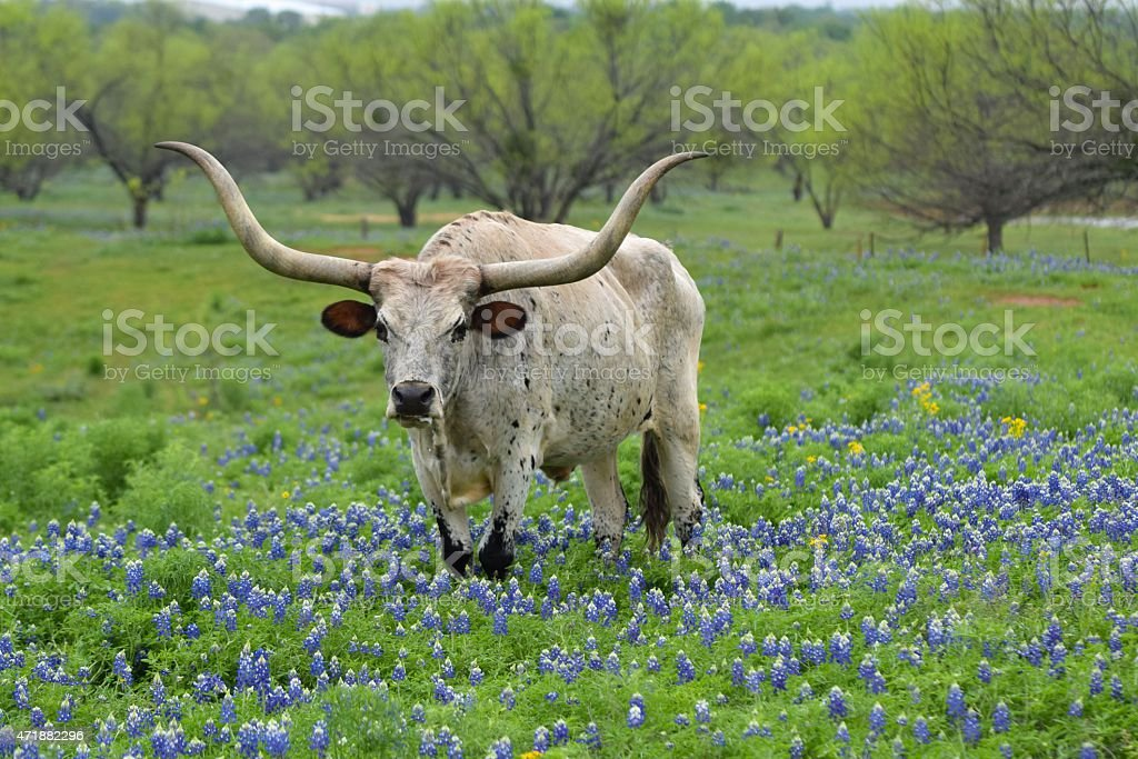 Longhorn in the Texas Bluebonnets stock photo
