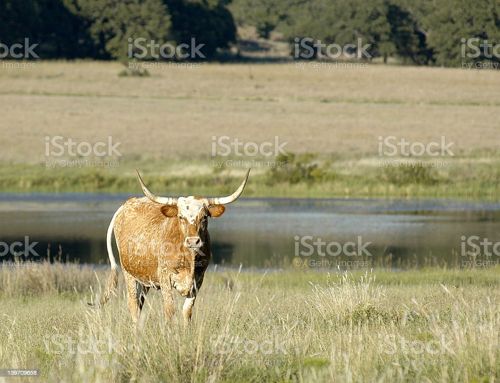 Longhorn landscape royalty-free stock photo