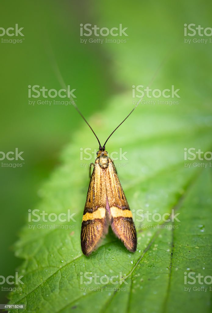 Longhorn Moth - Nemophora degeerella royalty-free stock photo