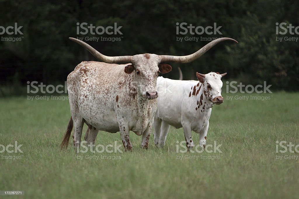 Longhorn Mother and Baby royalty-free stock photo
