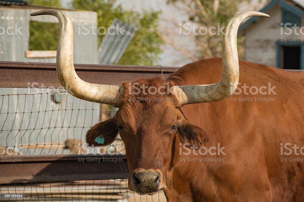 Longhorn stock photo