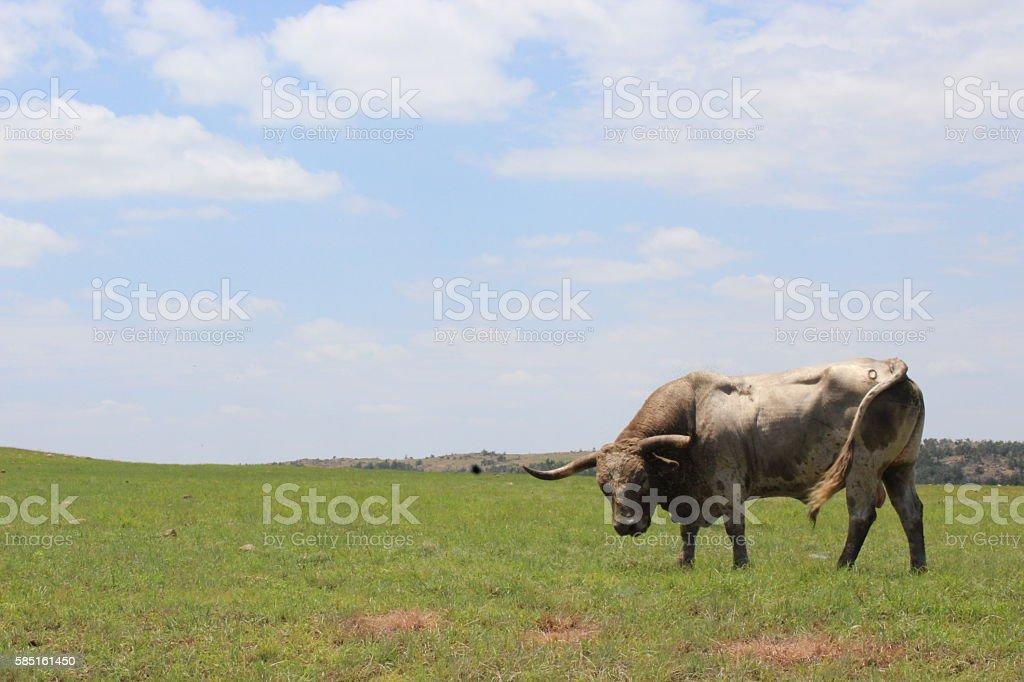 Longhorn roaming wild stock photo