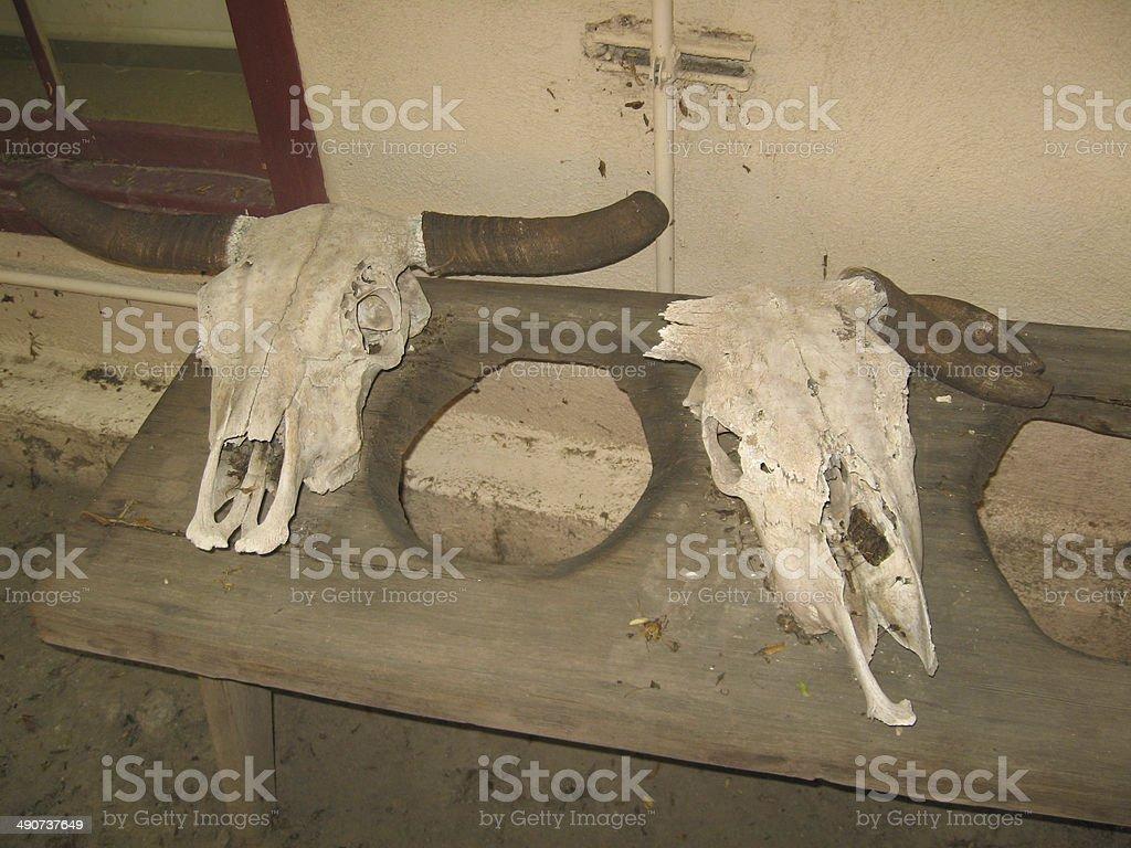 Longhorn Skulls stock photo