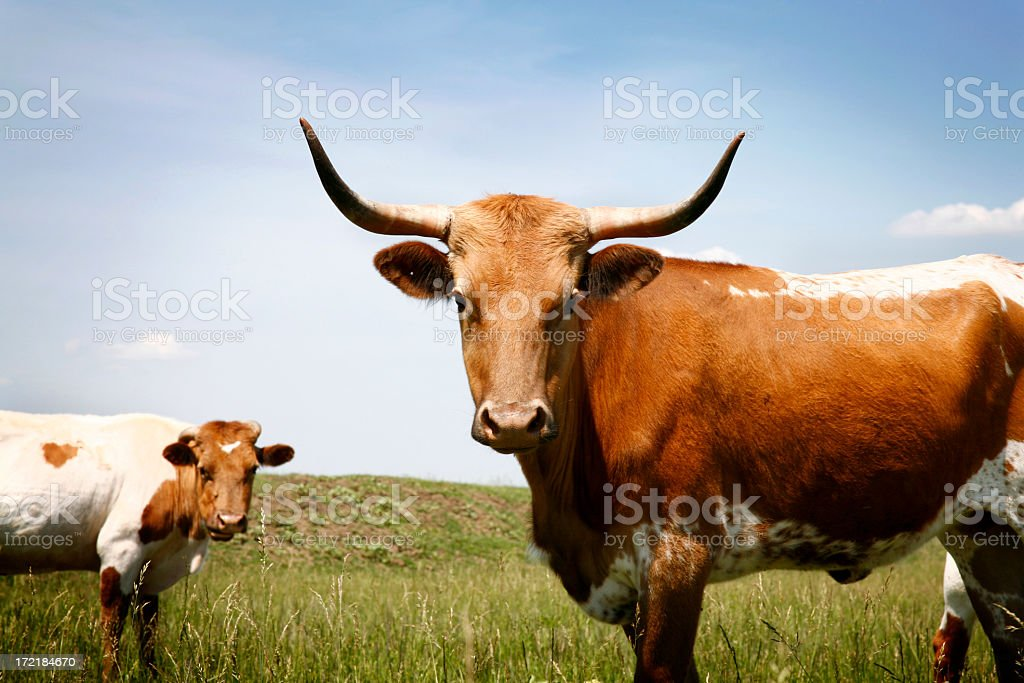 Longhorn steer in grassy field under blue sky royalty-free stock photo