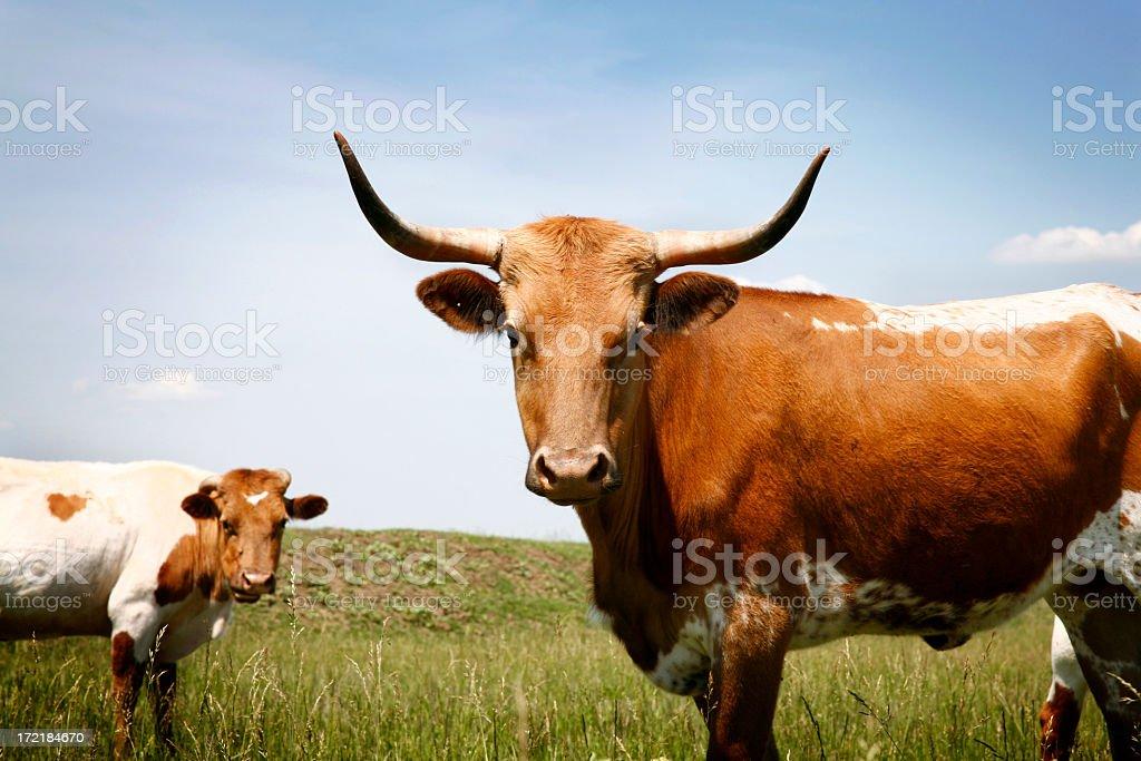 Longhorn steer in grassy field under blue sky stock photo