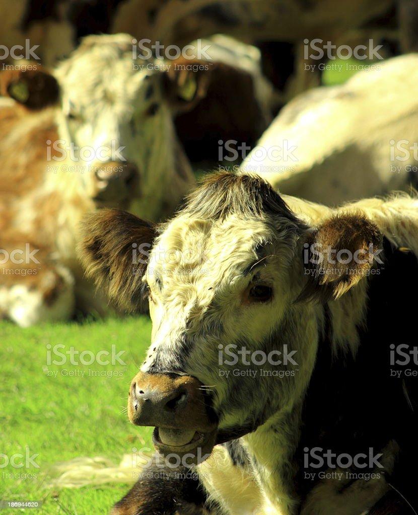 longhorn yawning cow royalty-free stock photo