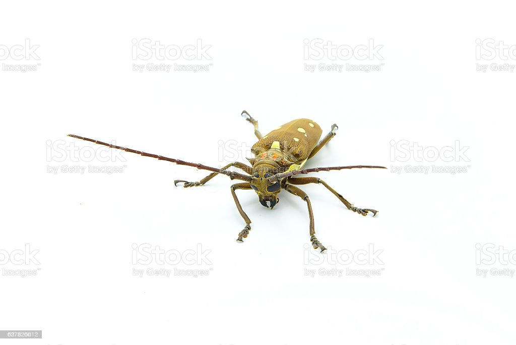 Long-horned Beetle (Dorysthenes walkeri Waterhouse) and wings with yellow polka stock photo