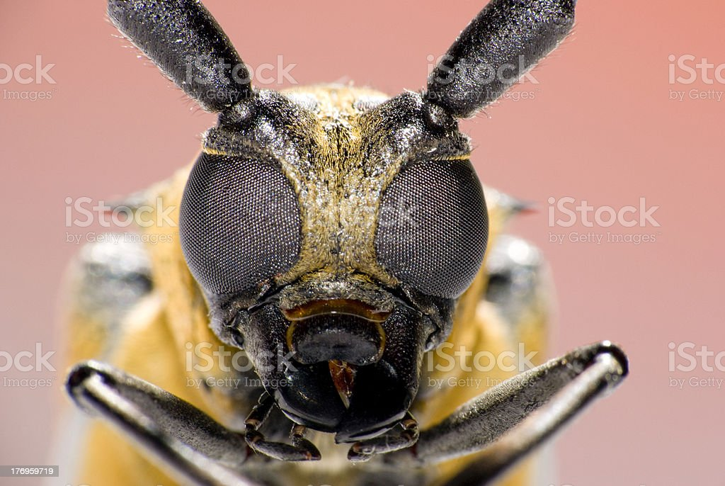 long-horned beetle royalty-free stock photo