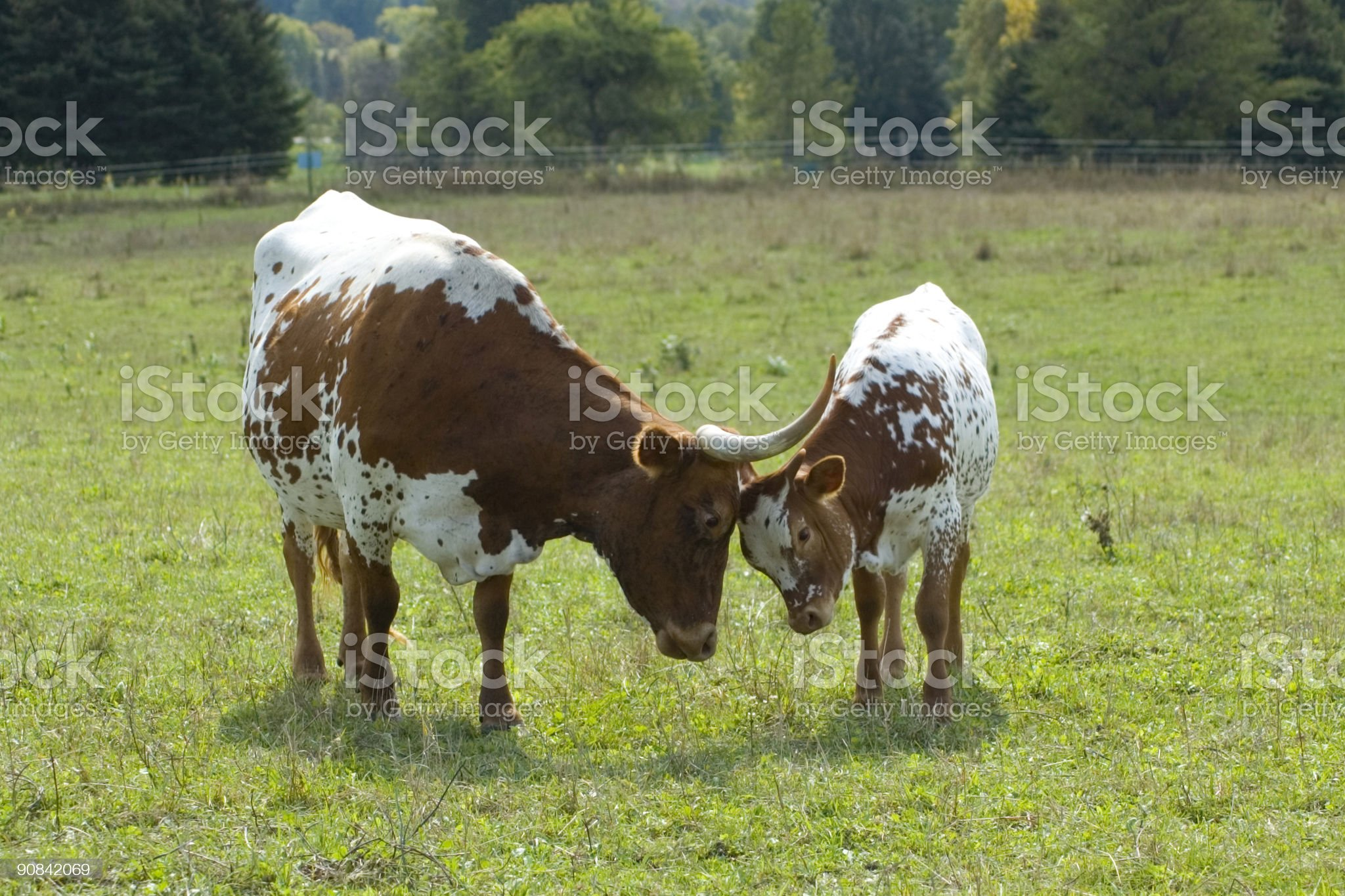 Longhorns Butting Heads royalty-free stock photo