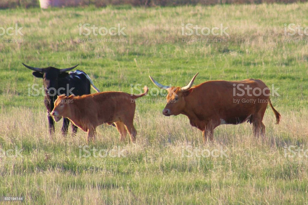Longhorns in Pasture stock photo