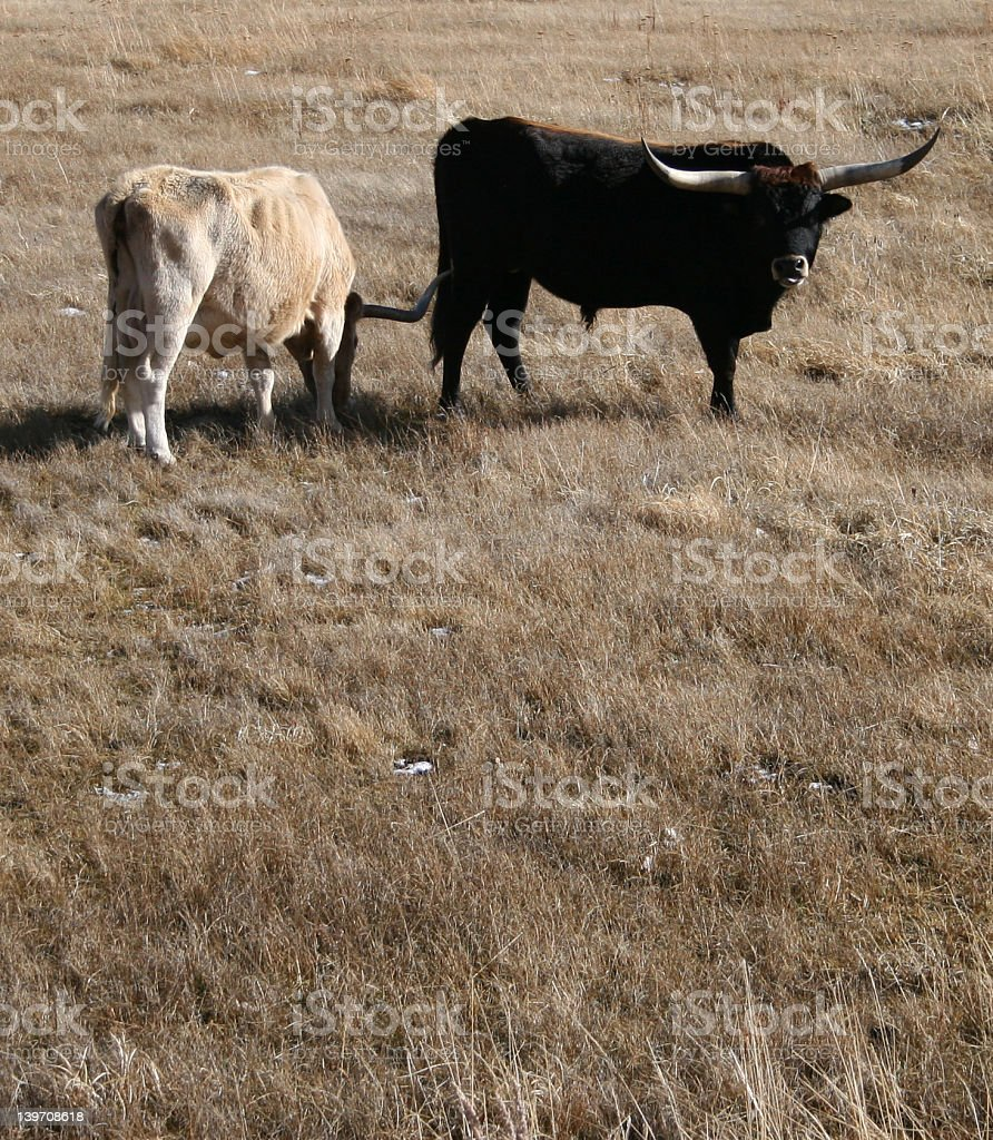 longhorns royalty-free stock photo
