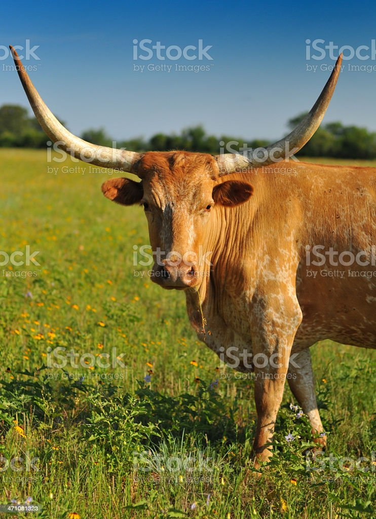 Longhorns stock photo