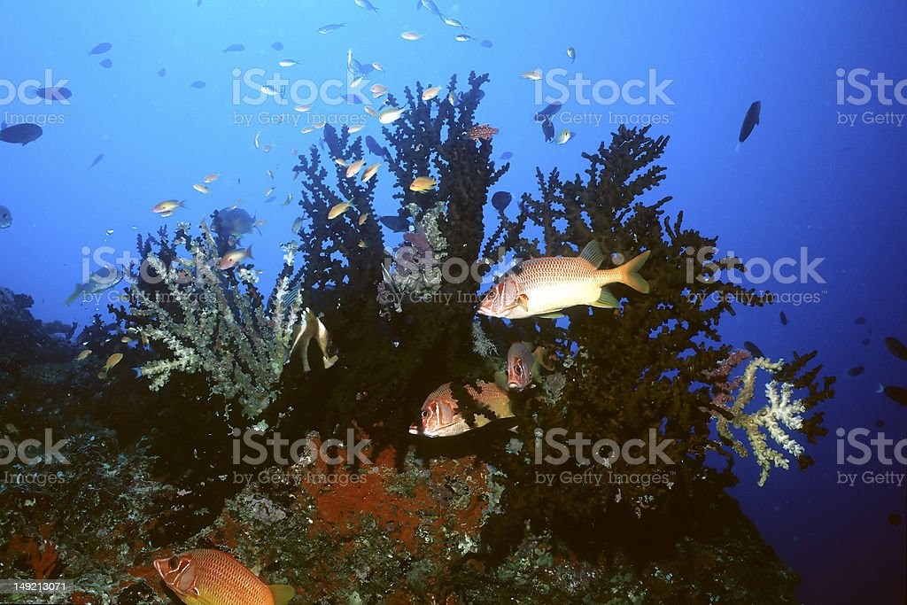 long-jawed squirrelfish stock photo