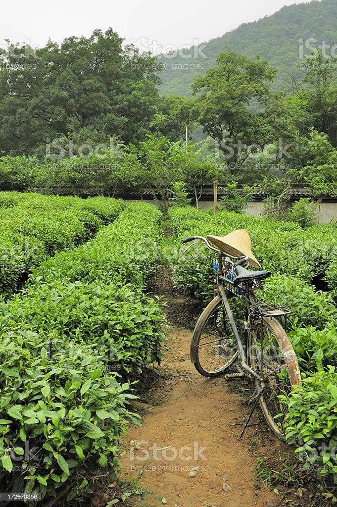 Longjing 龍井 Tea Farm in XiHu (West Lake), Hangzhou, China stock photo